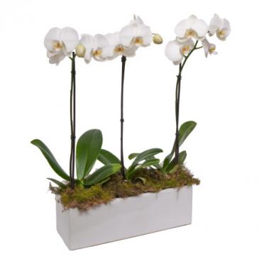 Phalaenopsis Triple Orchid