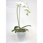 Phalanopsis Orchid  Orchid Plant