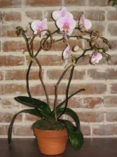 Phaleanopsis Orchid Plant Orchid Plants in New Orleans, Louisiana | HARKINS THE FLORIST