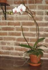 Phaleanopsis Orchid Plant Orchid Plants