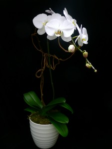 Phalenopsis Orchid  in New Canaan, CT | BON FLEUR