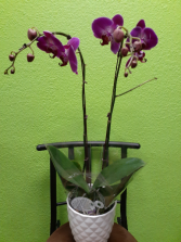 Phalenopsis Orchid Plant 1 Plant still available