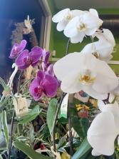 Phalenopsis Orchid Plant...4 more available
