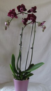 PHALEONOPLIS ORCHID PLANT