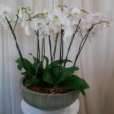 Phaleonopsis Orchid Cluster Plant