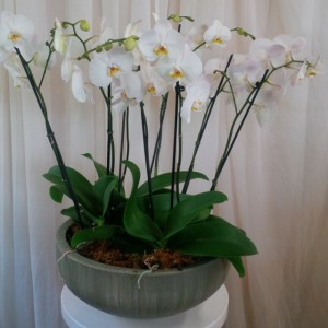 Phaleonopsis Orchid Cluster Plant in Woodbridge, ON | PRIMAVERA FLOWERS & MORE