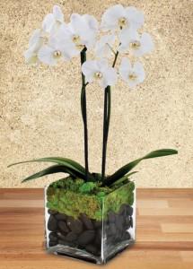 Phaleonopsis Orchid - Double Plant