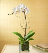 Phaleonopsis Orchid - Single Plant