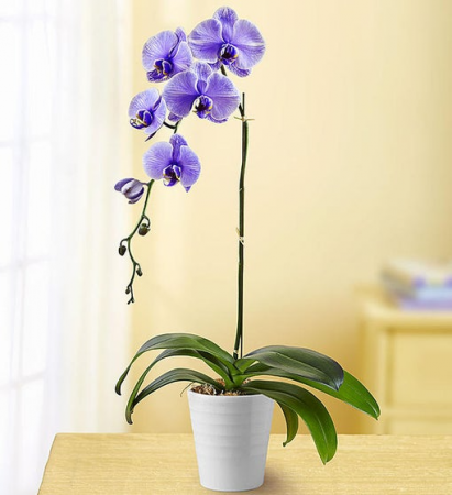 Phalonopsis Orchid