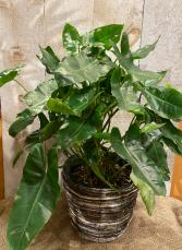 Philo Burle Marx plant