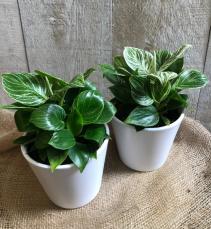 "Philodendron Birkin 5"" Diameter Plant in Ceramic Pot"