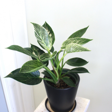 Philodendron Birkin *LOCAL DELIVERY ONLY*