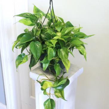 Philodendron 'Brasil' *LOCAL DELIVERY ONLY*