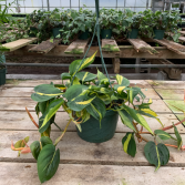 Philodendron Brazil Hanging Basket