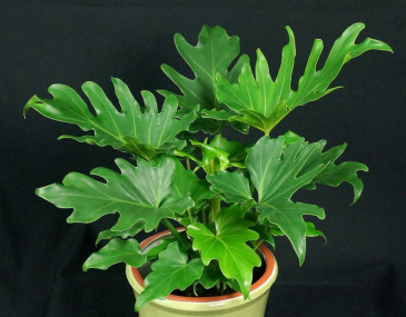 Philodendron Hope 8'' Plant