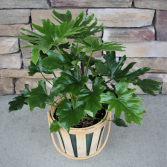 Philodendron in Orchard basket Plant