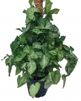 Philodendron Pole Green Plant