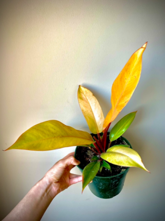 """Philodendron Prince of Orange 6"""""""