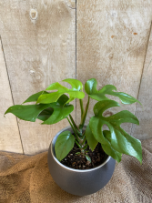 Philodendron Split Leaf Minima plant