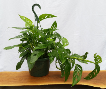 """Philodendron """"Swiss Cheese"""" Hanging Basket House Plant"""