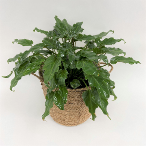 Philodendron Xanadu  Plants in Trumann, AR | Blossom Events & Florist