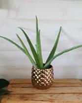 Piña Colada  Plant