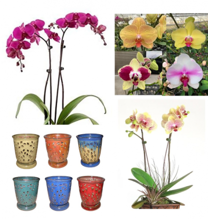 Double Spike Phalaenopsis in Classic Glazed Pot Easy Orchids for the Home