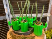 Pickle cactus  Succulent