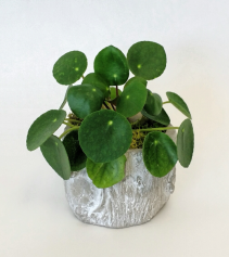 Pilea or Chinese Money Plant Living Plants