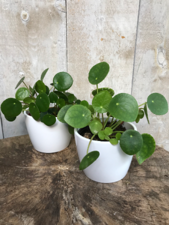 Pilea Peperomioides  The Friendship Plant