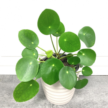 Pilea Peperomioides ***PICK-UP ONLY***