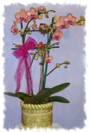 PIN STRIPES ORCHID PLANT