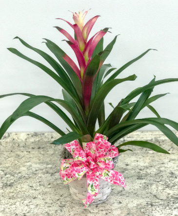 Pink and White Bromeliad Blooming Plant