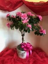 Pink Azalea Tree Plant