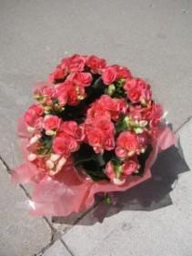 Pink Begonia begonia