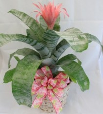 Pink Bromeliad Blooming Plant