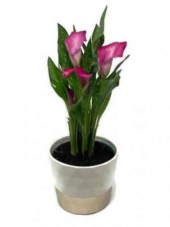 Pink Calla Plant blooming plant