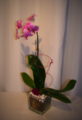 PINK CURL Single orchid planter