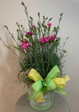 Pink Dianthus Potted Plant