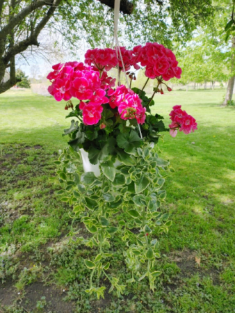 Pink Geranium Hanging Basket
