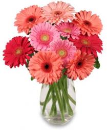 Pink Gerberas in a vase