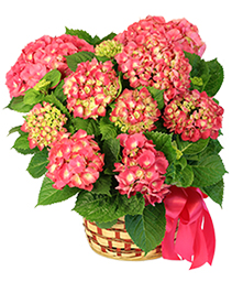 Pink Hydrangea Blooming Plants