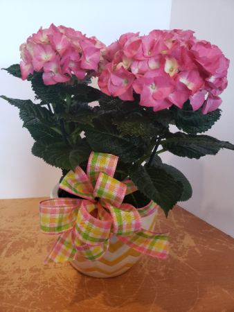 Pink Hydrangea in ceramic pot Plant