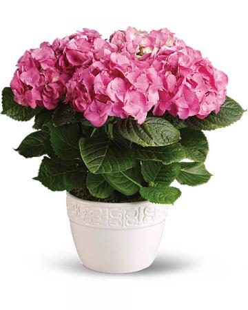 Pink hydrangea plant
