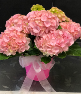 Pink Hydrangea Plant Easter Plant