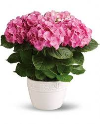 Pink Hydrangea Plant Mother's day