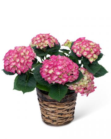 Pink Hydrangea Plant Plant