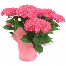 Pink Hydrangea Plant Wrapped in matching foil with bow.