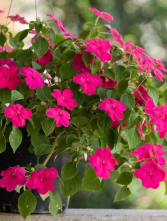 Hanging Basket Color Vary