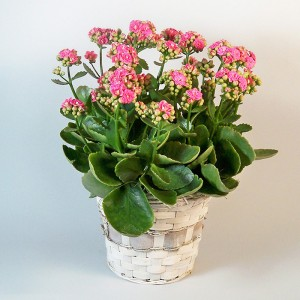 Kalanchoe Plant Colors may Vary  in Bend, OR | AUTRY'S 4 SEASONS FLORIST